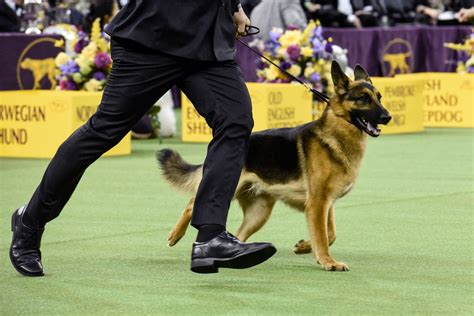 westminster show 2017 results westminster show 2017 results best in show winner announced