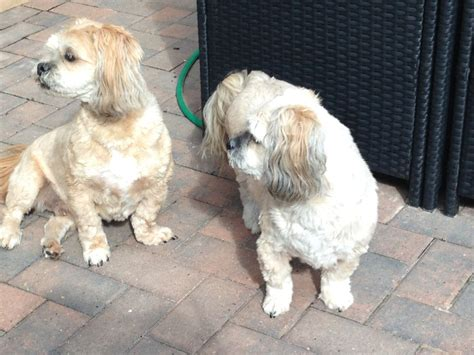 llhasa apso dogs for rehome addorable pets nottingham