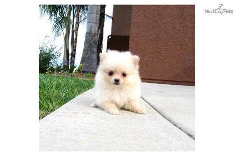 teacup pomeranian sale cheap pomeranian puppy for sale for 695 teacup pom for sale in san diego