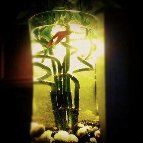 Betta Fish In Vase With Bamboo by Diy Fish Tank Beta Fish Lucky Bamboo Sanity Projects The O Jays The And