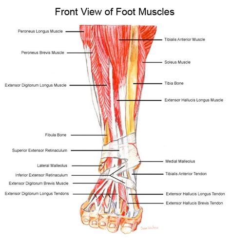 ligaments diagram foot tendon diagram muscles tendons ligaments of the foot
