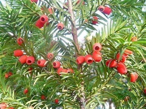 conifere da vaso conifere nane piante da terrazzo conifere nane