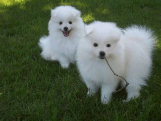 american eskimo puppies for sale american eskimo dogs and puppies for sale