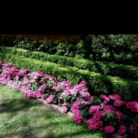 Patio Rhododendron by Hydrangeas At Bayou Bend Gardens Hydrangea Boxwood And