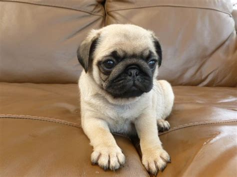 fawn pug puppies fawn pug puppy holywell clwyd pets4homes