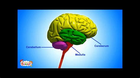3 sections of the brain 3 basic parts of the brain brain parts functions video