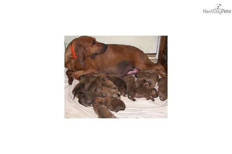 coonhound puppies for sale near me redbone coonhound puppy for sale near richmond virginia 6a98ab73 a051
