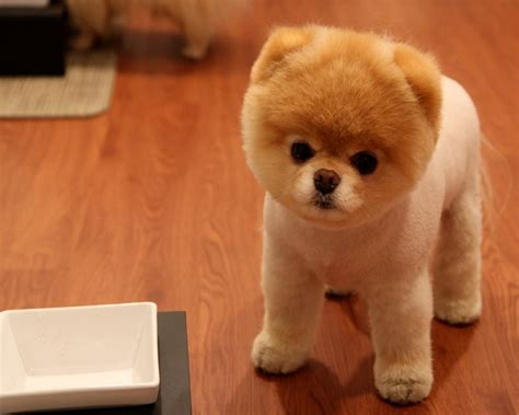 pomeranian cutest in the world top 25 cutest breeds around the world