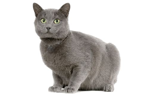 Cat Two Mf 7 facts about chartreux cats mental floss