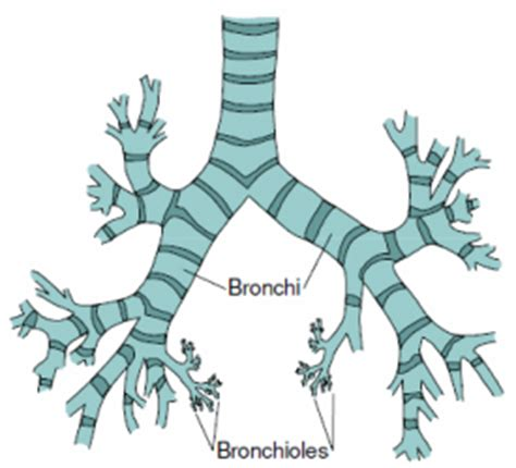 diagram of bronchioles the respiratory system