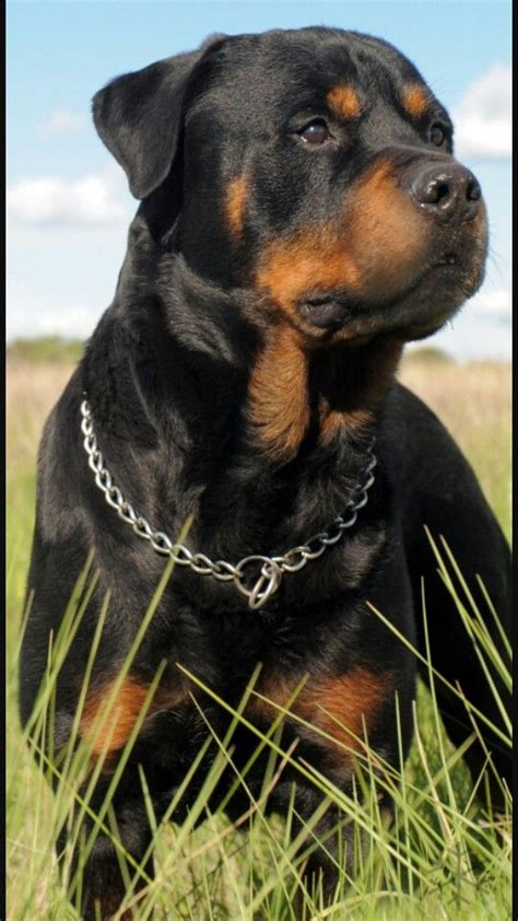 baby rottweiler for sale craigslist best 25 rottweilers ideas on baby rottweiler rottweiler puppies and