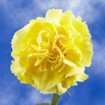 yellow carnations globalrose