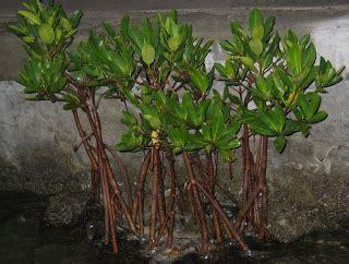 Jual Bibit Okra Di Jakarta bibit mangrove jual bibit bakau di jakarta
