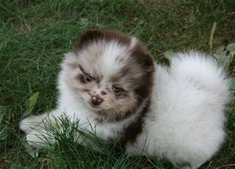 chocolate brown pomeranian for sale chocolate merle pomeranian breeds picture