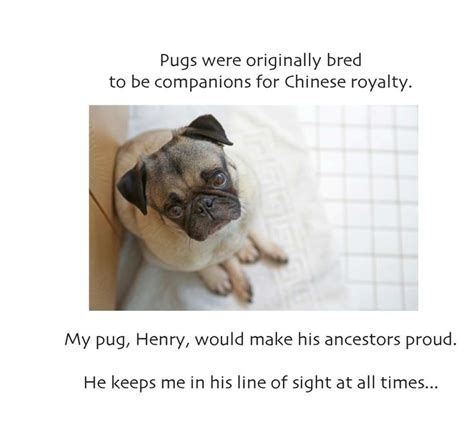 pug shelter near me 17 best images about henry the rescue pug on adoption san diego and