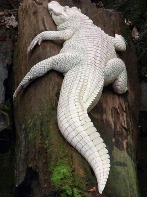 7 best albino reptiles images on pinterest amphibians