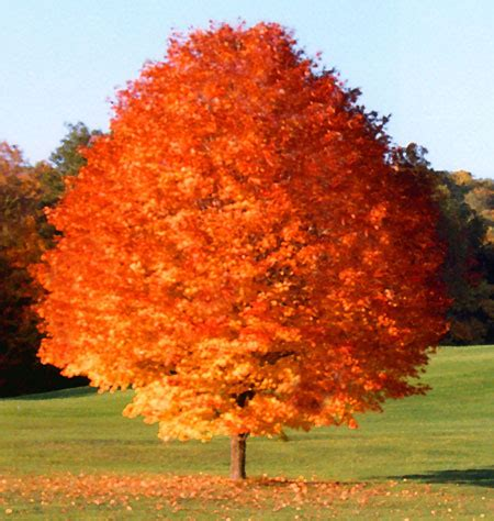 louisiana maple trees october maple trees for sale fast growing trees