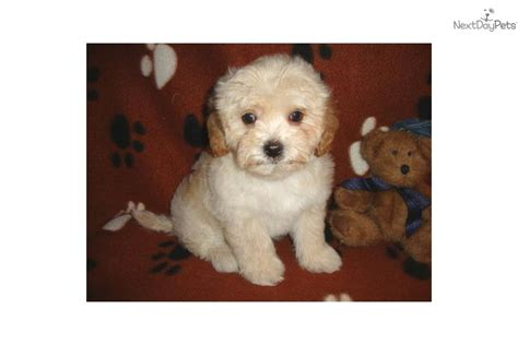 havanese puppies missouri havanese puppy for sale near joplin missouri 31159fcd ef11