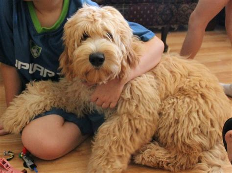 goldendoodle puppies florida goldendoodles for sale florida breeds picture