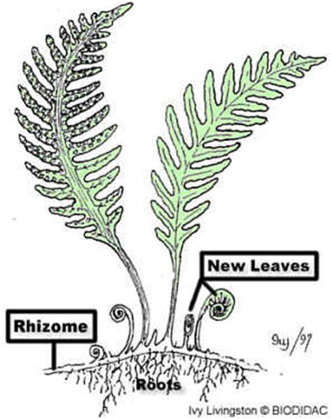 diagram of a fern pterophyta