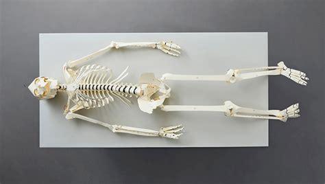 skeleton diy this book lets you build your own human skeleton technabob