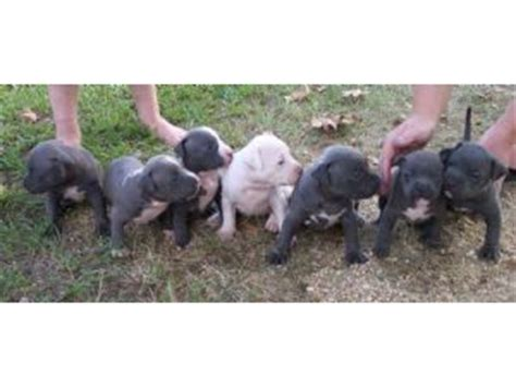 pitbull puppies for sale in ms american pit bull terrier puppies in mississippi