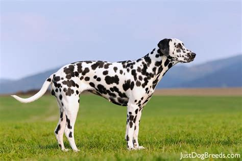 Dalmatian Shedding by Low Shedding Breeds Breeds Picture