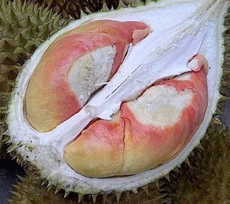 Penjual Bibit Durian Merah Banyuwangi jual tanaman durian pelangi bibit