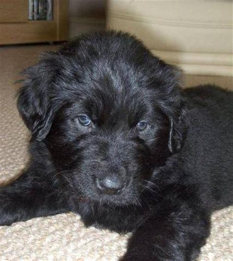 newfoundland puppies for adoption purebred register newfoundland puppies for sale for sale adoption from thunder bay