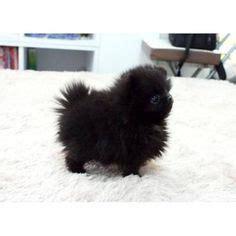 black teacup pomeranian grown black pomeranian teacup grown search pets minis