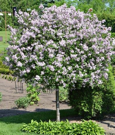 lilac tree bloomerang purple lilac tree syringa penda