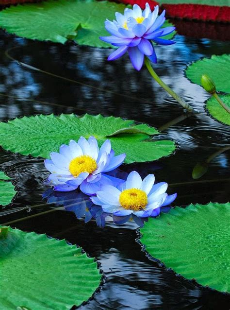 water lily flower with lion best 25 water lilies ideas on