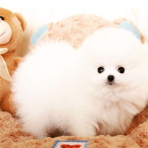 nose pomeranian for sale 28 best teacup pomeranian images on teacup pomeranian pomeranian and