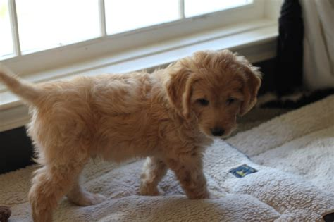 goldendoodle puppy rochester ny goldendoodle puppies for near rochester ny puppy