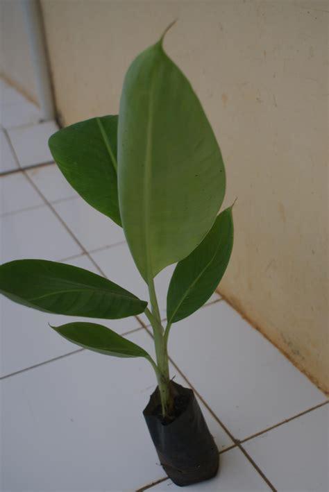 Jual Bibit Anggur Tangerang jual bibit pisang ambon kuning harga murah kota tangerang oleh pt multi agro kultura
