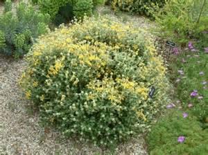 low maintenance shrubs