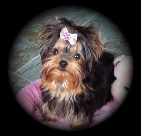 teacup yorkie edmonton yorkie puppies for sale in toronto ontario breeds picture