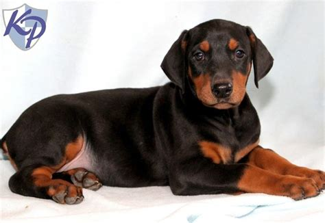 doberman puppies for sale in small doberman breeds picture