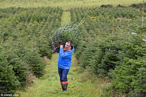 christmas tree harvest is underway after the first fir