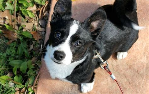 boston terrier rottweiler mix 1000 ideas about terrier mix on dogs for