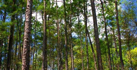 behind the pine curtain behind the pine curtain the kingdom the kids the cowboys