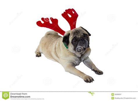 beige pug beige pug wearing attire 8 royalty free stock photography image 35006297