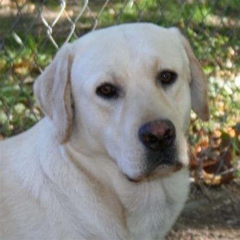 lab puppies ma brookwood labradors labrador retriever breeder in westport massachusetts