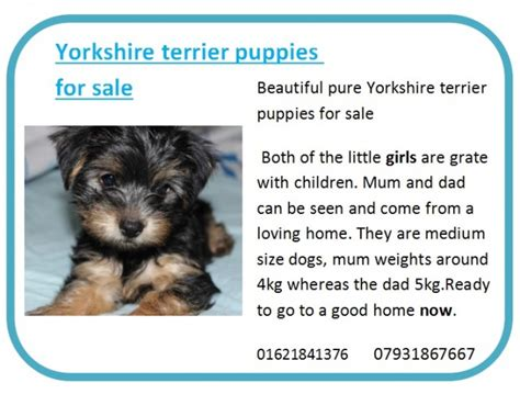 yorkie puppies for sale essex 2 terrier puppies for sale maldon essex pets4homes