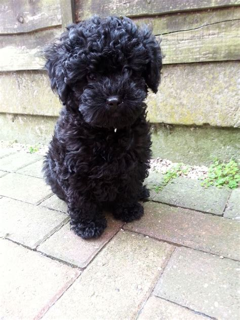 poodle x shih tzu adorable miniature poodle x shih tzu puppies cannock staffordshire pets4homes