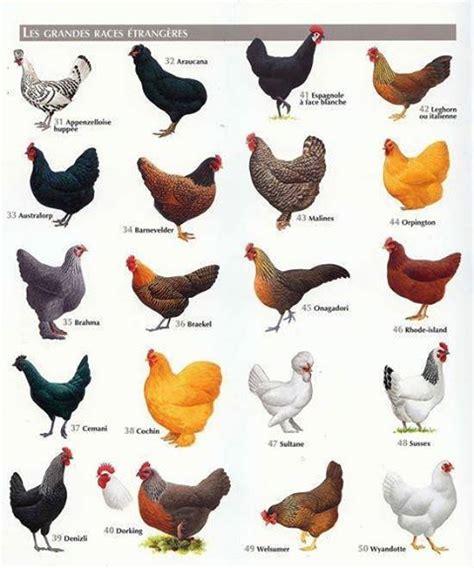 Backyard Chickens Book Best 25 Chicken Breeds Ideas On Pinterest Hens Chicken