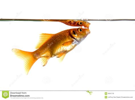 gasping for air goldfish gasping for air royalty free stock images image 4941719