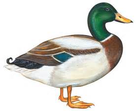 Mallard duck anas platyrhynchos painting mallard duck by anonymous