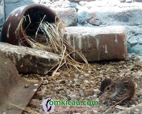 Pakan Ternak Branjangan morgede bf klaten sukses budidayakan murai batu dan