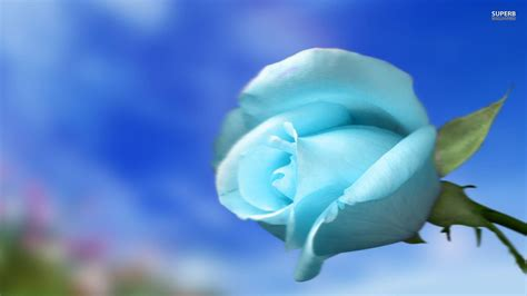 free wallpaper blue roses free blue rose wallpapers wallpaper cave